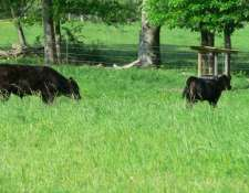 cows-and-adams-fence-001