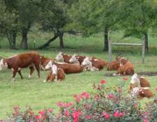 herefords-102009