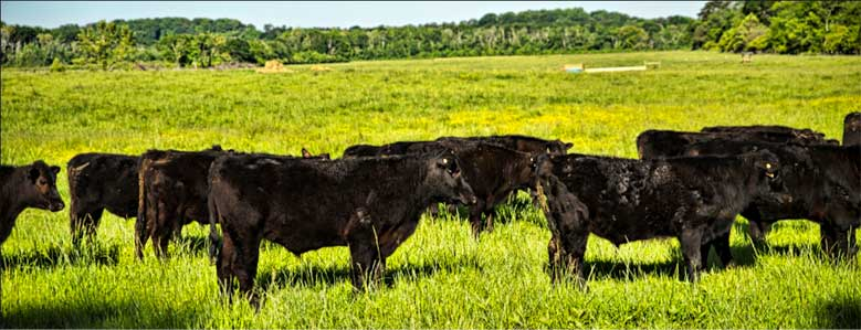 deGraan Farms grass-fed cattle humanely kept in green pastures