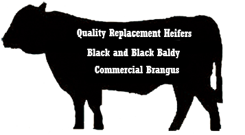 black-cow-header